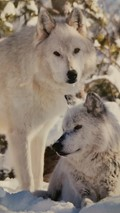 Picture of adopted River Valley Wolf Pack